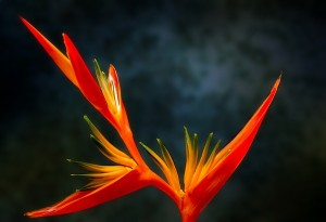 bird-of-paradise-flower mothers day